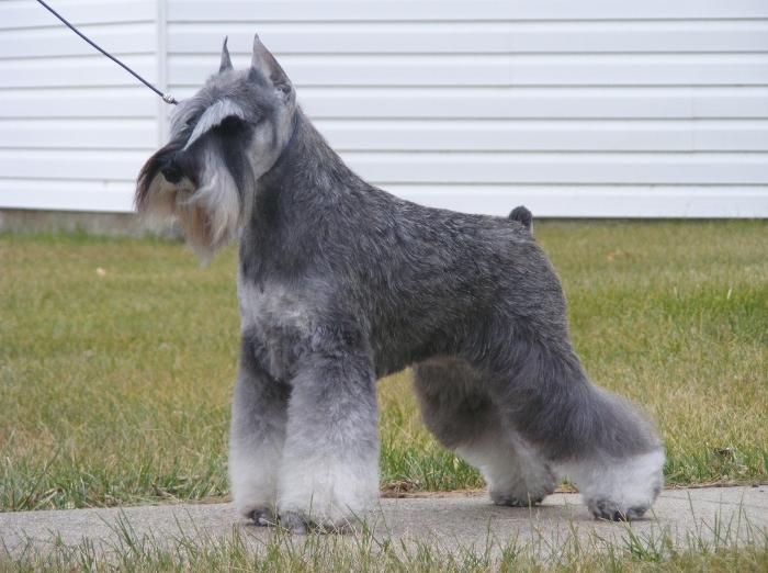 Removed Miniature schnauzer skunk strip something and