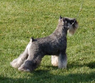 National Dog Show Miniature Schnauzer Best Of Breed